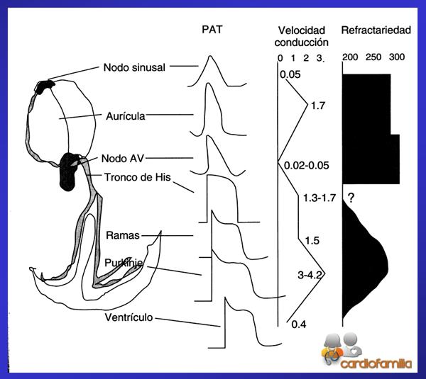 bases-electrofisiologicas-de-las-arritmias-cardiofamilia