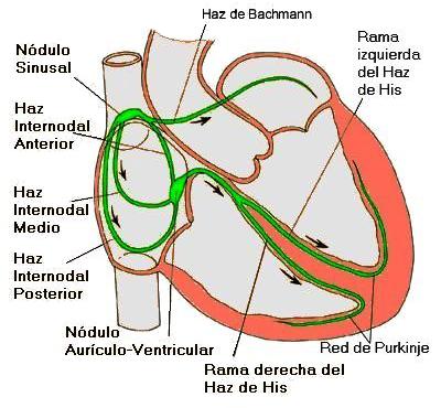 figura-sistema-conductor-del-corazon-cardiofamilia