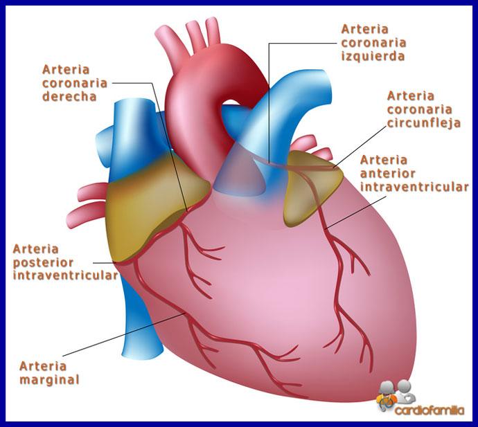 Recuerdo anatómico de la circulación coronaria