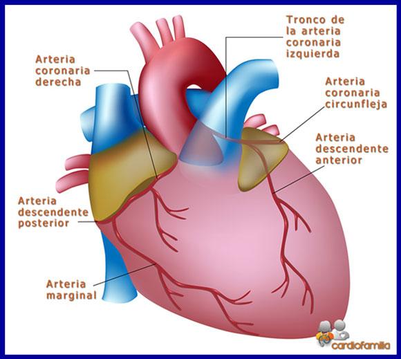 figura anatomia corazonx580 www.cardiofamilia.org